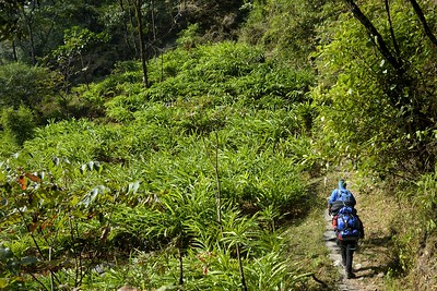 Walking in the valley past the cardamom plantations below Sekathum