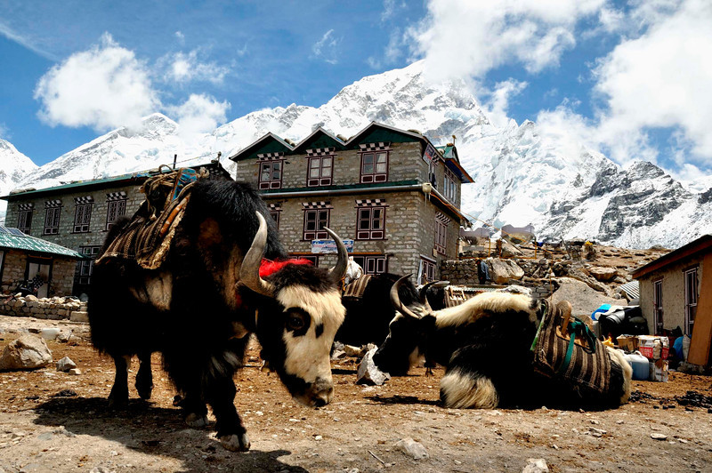 Almost at journey's end these yaks are rested at Gorak Shep with the huge wall of Nuptse towering behind.