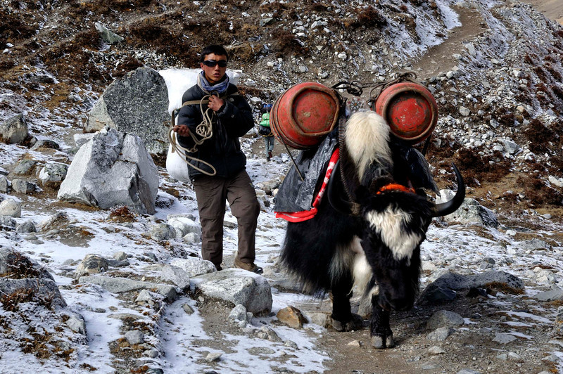 Laden with two gas cylinders this yak and his master enter Gorak Shep the last stop before Everest Base Camp