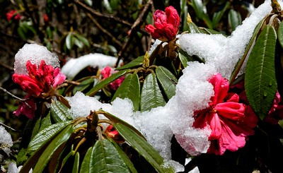 Rhododendrons in the forest below Bimathang - descending to the Marsyandi valley after crossing Larke La