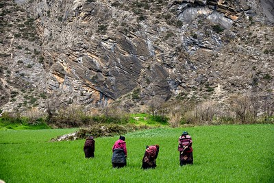 Women cultivate the wheat fields near the village of Pangdun , half an hour south of Chule on the trail to Mu Gompa