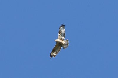 Eagle (?)