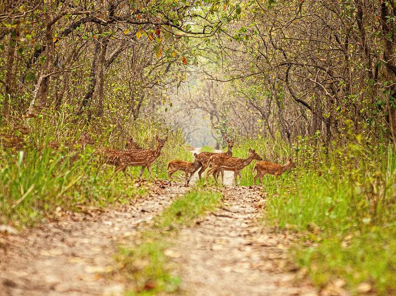 Deer crossing, Chitwan National Park