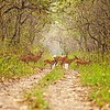 Deer crossing, Chitwan National Park
