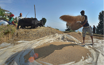 It is harvest time in Nepal and these rice workers have travelled from western Nepal to work in the fields. They are paid little, sleeping above the cattle they had arrived with no blankets and few belongings. Here you can see the rice being spread out which is then fanned to separate the light dry husks from the grains. In the background the ox trample the left over rice grass to make it more palatable for the Buffalo which it will feed. The dry grass is then stored in large stacks.
