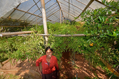 Tomato pollytunnel like in many homestays