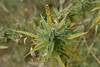 Ganga...mary jane, pot, marijuana, refer, #13.....it grows wild in the mountains, there for the harvesting.