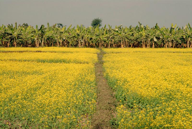 Mustard field with banana trees.