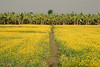 Mustard field with banana trees.