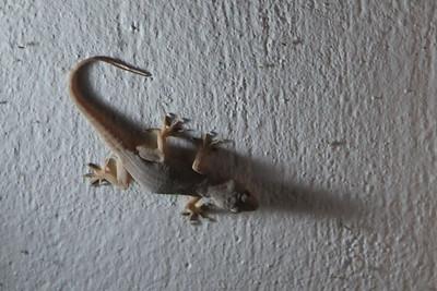 Gekon - bardzo fajne zwierzątko bo zjada caly latajacy syf :)  to zalegle zdjecie z Durme