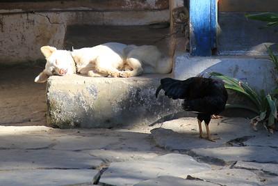 Pies i Kura