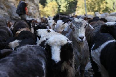 Kozy, owce caly czas nam towarzyszą