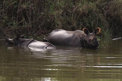 A tak, kochanedzieci, wygląda nosorożec bardzo dziki