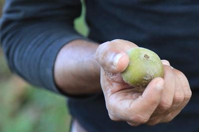 Rhino apple - ulubiony przysmak nosorożców