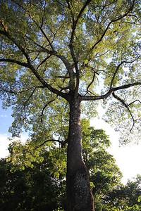 Drzewo bawełniakowe, czy jak tam się ono zwie po polsku