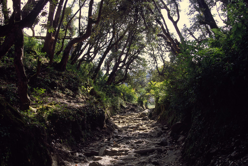 Just below Ghorepani we enter the rhododendron forests.