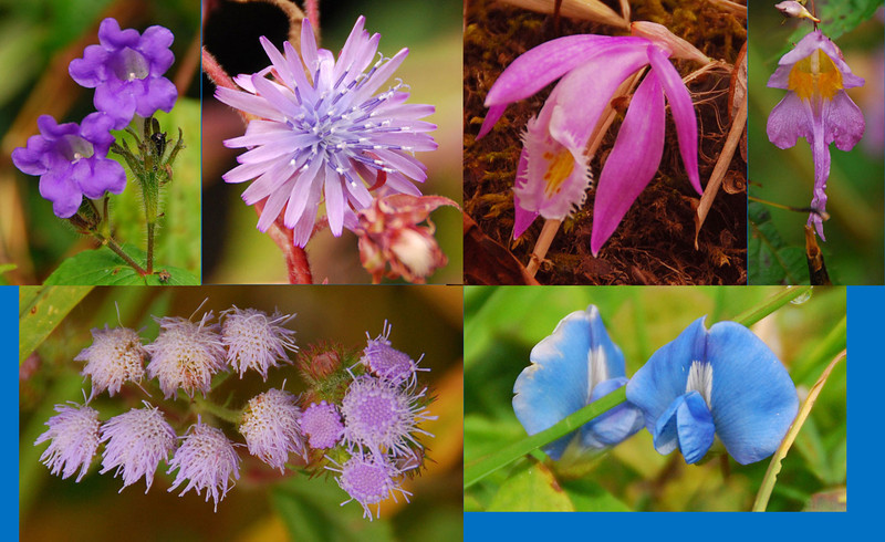 Nepal is almost in the tropics and the south side of the Himalayas has plenty of rainfall, so almost anything grows.  The forest below 10,000 feet was filled with flowers of all kinds.  Here are some purple and blue ones (some only half an inch across)...