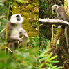 One day we saw a troop of langur monkeys feeding on bamboo in the forest of the upper Modi Khola valley.  They are cute little critters, about 4 or 5 feet long including the tail, and quite entertaining to watch.