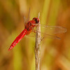The grasslands have many, many of these beautiful red dragonflies.