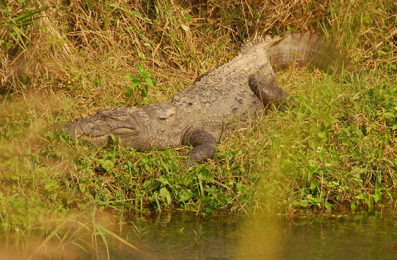 """Here's a Marsh or Mugger croc patiently waiting for one of the canoes to overturn.  (""""Mugger"""" comes from the Urdu for """"water monster"""", but I'm sure he would like to mug you in a marsh.).  He's at least 8 feet long (the longest on record is 17 ft.).  They are known to dine on water buffalo that weight almost 900 pounds."""