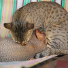 CJL has a resident cat that is nursing a mongoose.  They were the cutest couple and played together like kittens.  The cat keeps down the mice that would attract snakes, and the mongoose takes care of any snakes that do arrive.