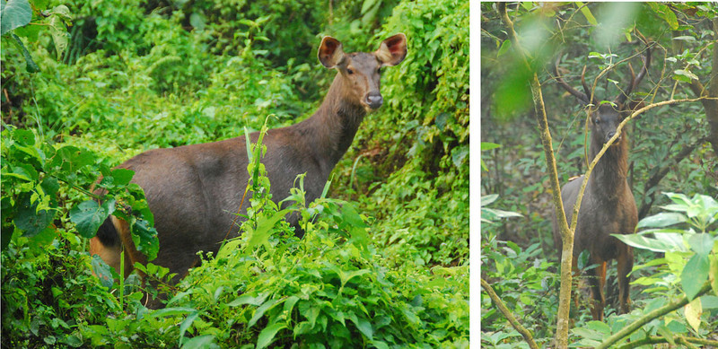 These are Sambar deer, which are about the size of mule deer.