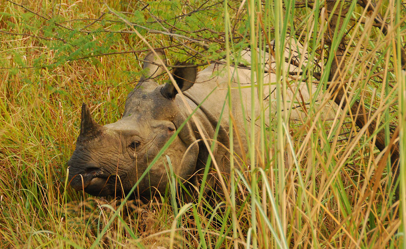 After spotting a grazing rhino, you can approach them to within about 30 feet before you get into their personal space and they become antisocial.  It's an almost prehistoric experience to see these beasts up close and personal.