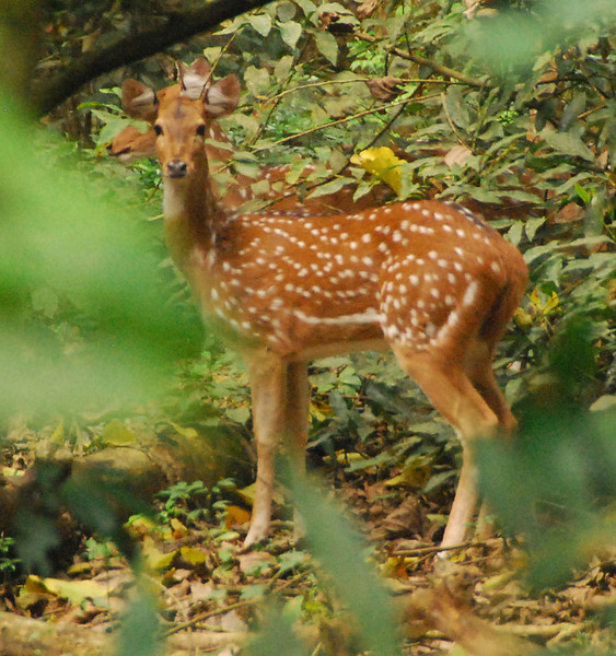 This is a spotted deer, about 3 feet high at the shoulder.