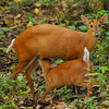 These are barking deer, which are only about 2 feet high.  They do make a barking sound.  These cute little guys are like M&M's to tigers.