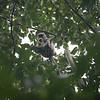 Tarai gray langur - Semnopithecus hector