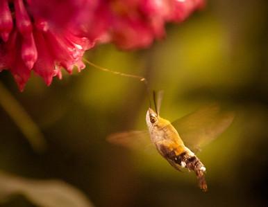 cool nectar feeding moth