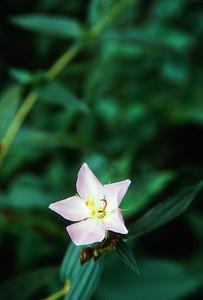 Wild flower in Kabeli Khola valley