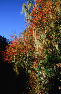 Autumn color in Ghunsa Khola valley
