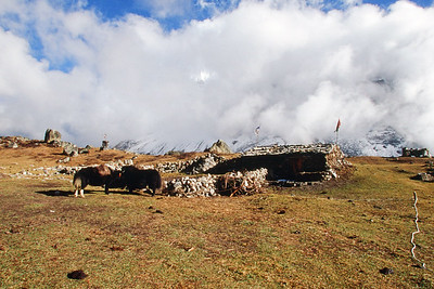 Yaks and house in Lhonak