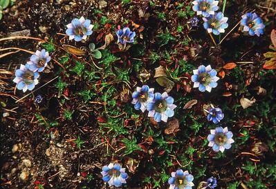 Ghunsa Khola valley wild flowers