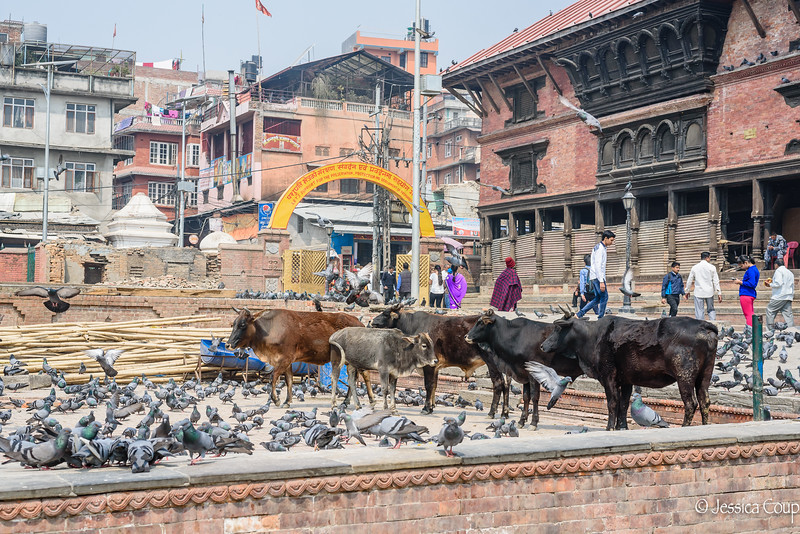 Cattle and Pigeons at the Temple Entrance