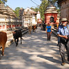 Temple grounds at Pashupatinath.  It doesn't take long to figure out the traffic rules--cows keep right, people keep left.