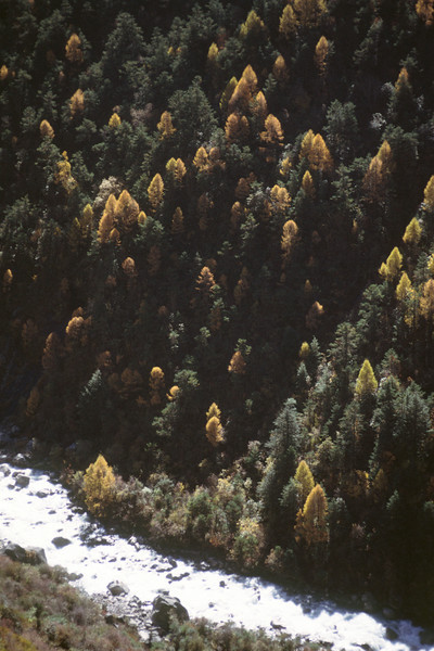 Lat view of larch trees.
