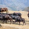 Steer Herd