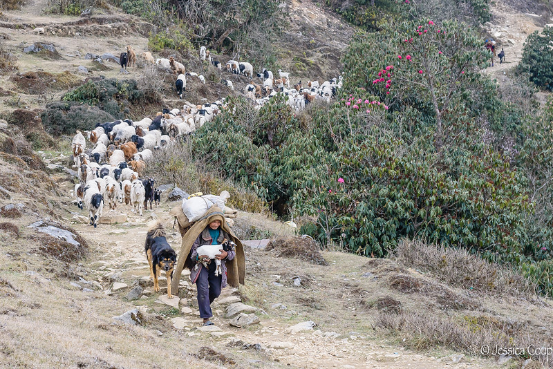 Goatherd Coming Into Town