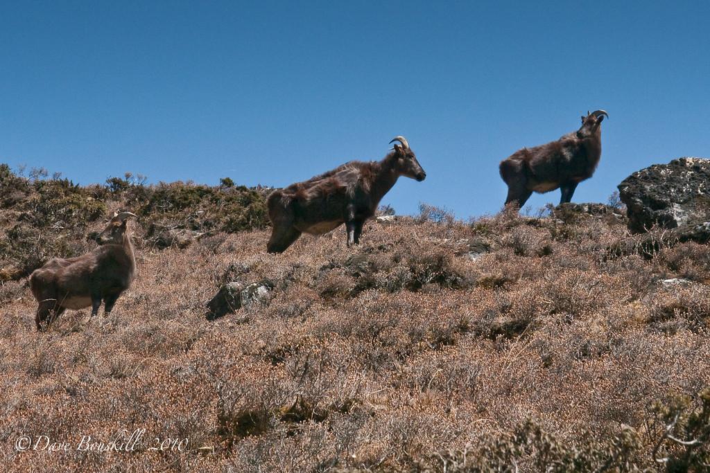 everest base camp trek mountain goats
