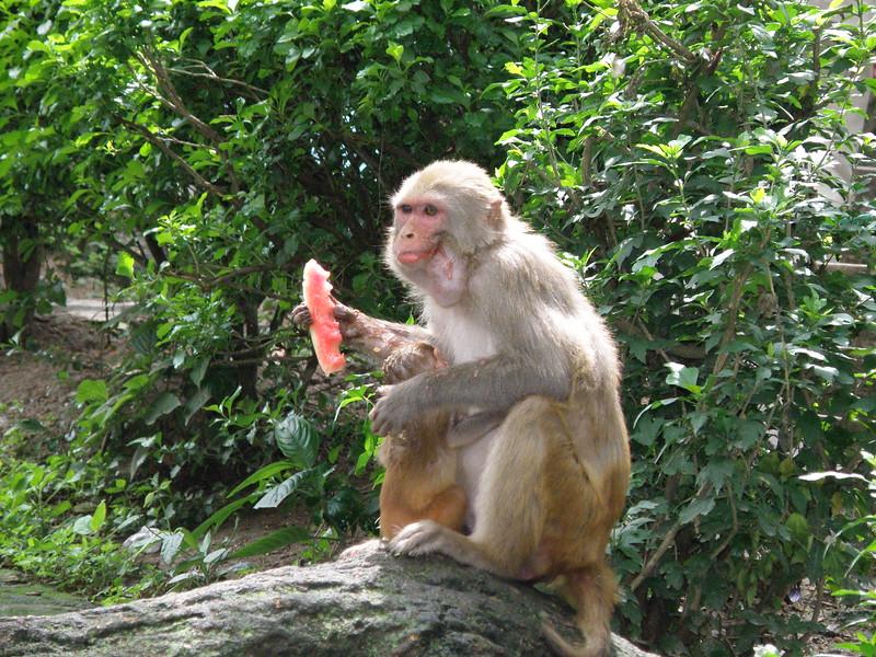 Monkey eating a piece of stolen watermelon