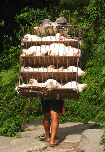 Chicken transport, Tikhedhunga, Nepal