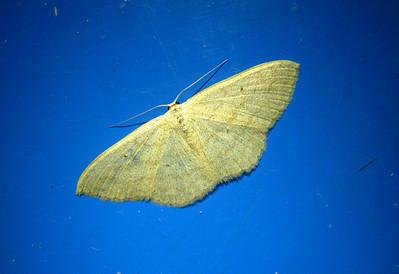Moth—Tatopani, Nepal