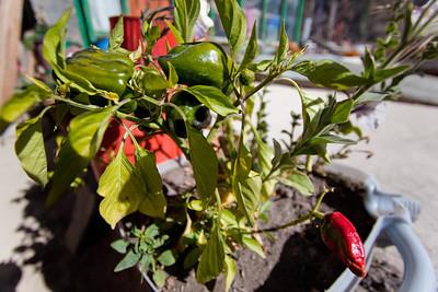 Rooftop peppers growing in Marpha, Nepal