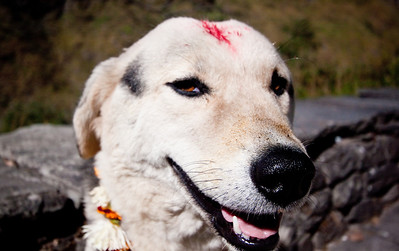 Happy dog on Tihar Day 2 - Kukur Tihar. Lower Mustang, Nepal