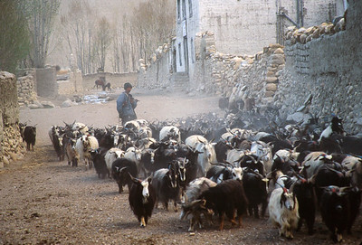 Goats belonging to king entering Lo Manthang