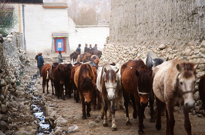 Horses belonging to king entering Lo Manthang