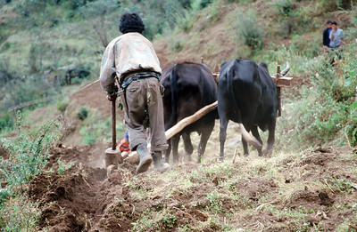 Bhandar (7,218 ft).  Farmer with water buffalo and wooden plow.