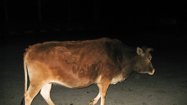 Bad tempered street cow—Pokhara, Nepal